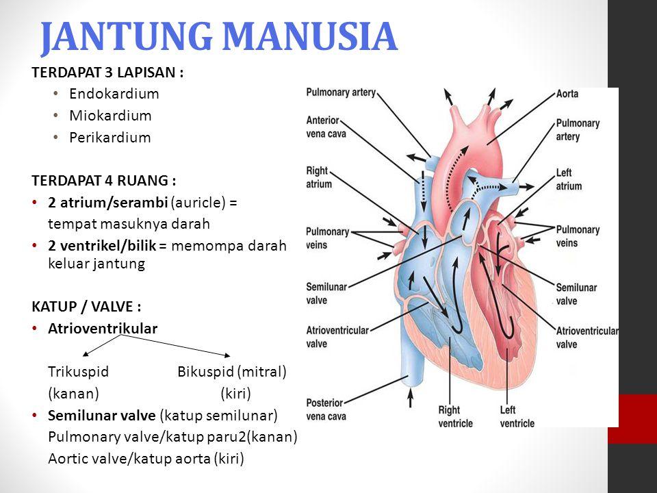 JANTUNG MANUSIA TERDAPAT 3 LAPISAN : Endokardium Miokardium
