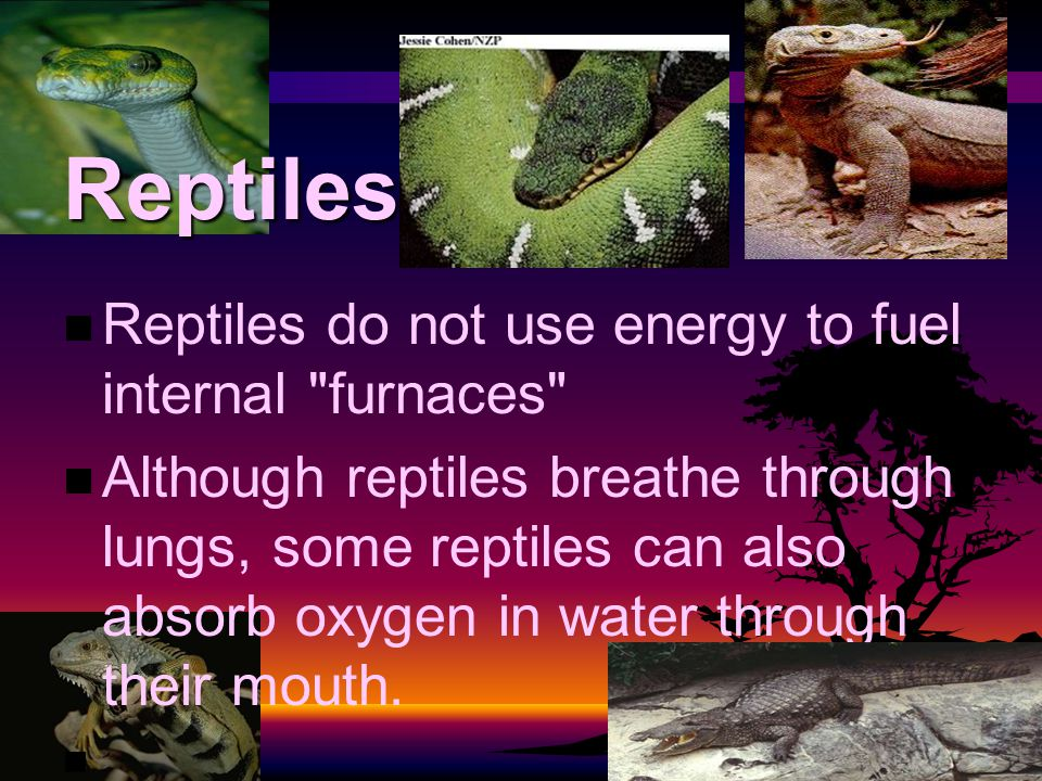 Reptiles Reptiles do not use energy to fuel internal furnaces