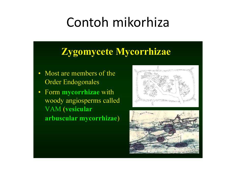 Contoh mikorhiza