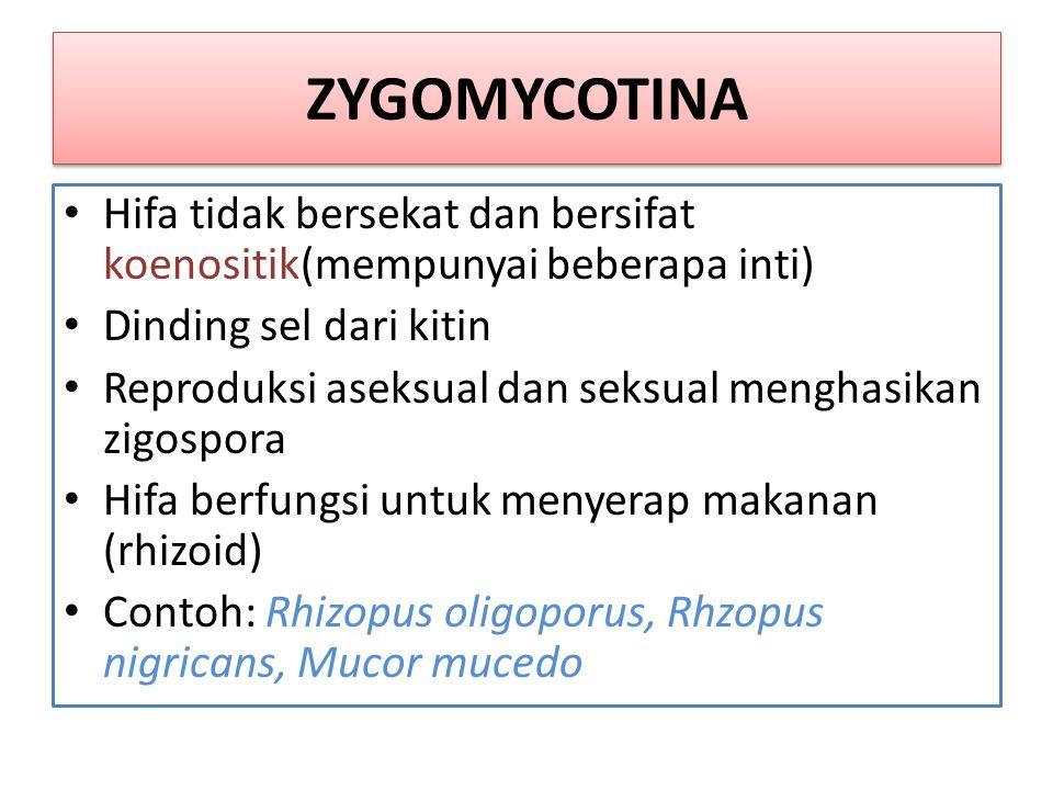 ZYGOMYCOTINA Hifa tidak bersekat dan bersifat koenositik(mempunyai beberapa inti) Dinding sel dari kitin.