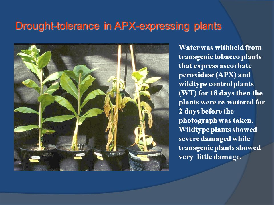 Drought-tolerance in APX-expressing plants