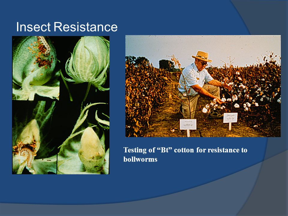 Insect Resistance Testing of Bt cotton for resistance to bollworms