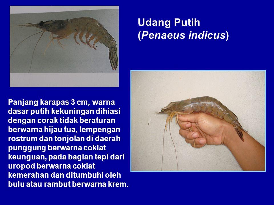 Udang Putih (Penaeus indicus)