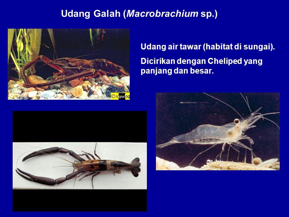 Udang Galah (Macrobrachium sp.)