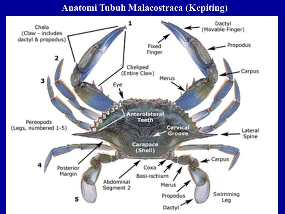 Anatomi Tubuh Malacostraca (Kepiting)