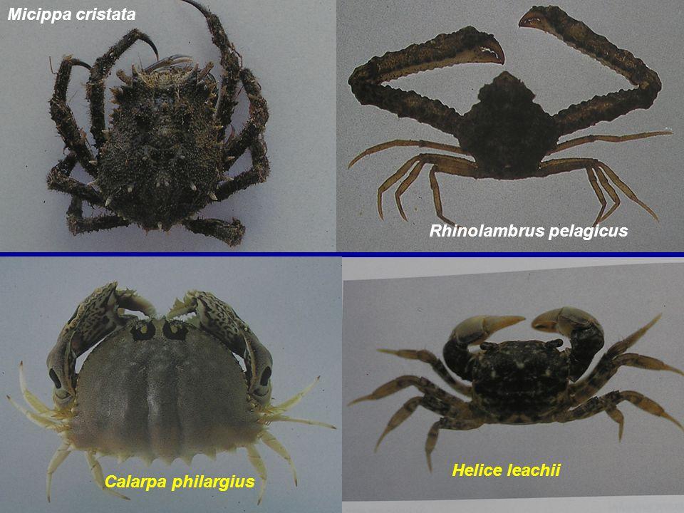 Micippa cristata Rhinolambrus pelagicus Helice leachii Calarpa philargius