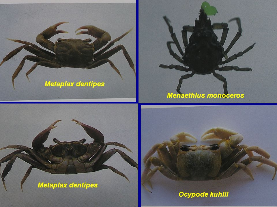 Metaplax dentipes Menaethius monoceros Metaplax dentipes Ocypode kuhlii