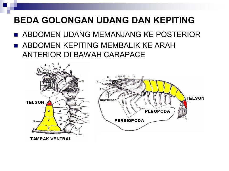 BEDA GOLONGAN UDANG DAN KEPITING
