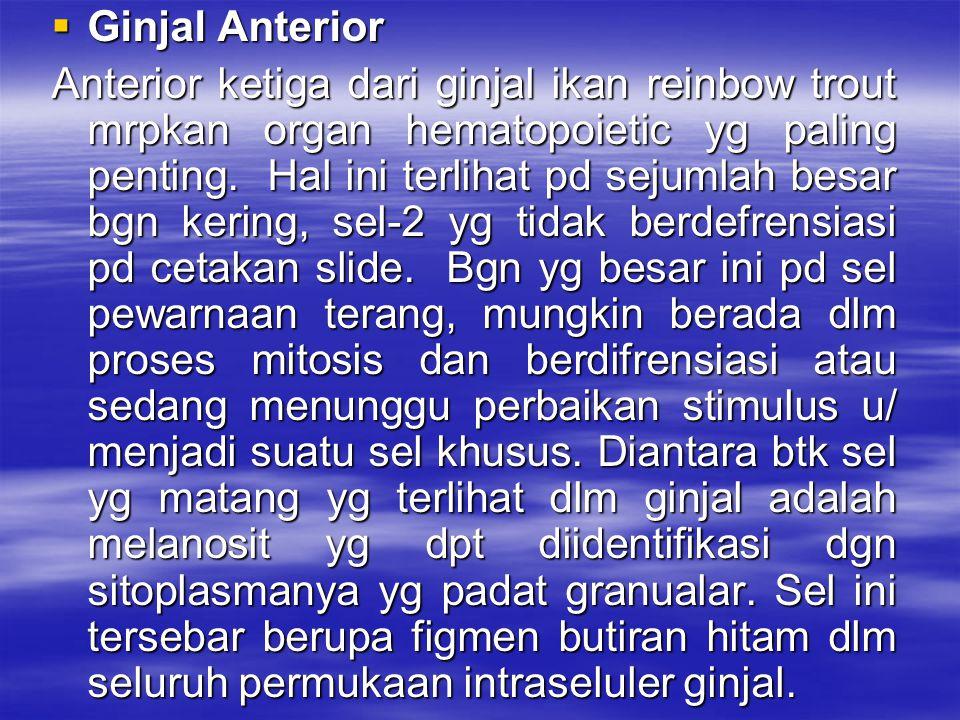 Ginjal Anterior