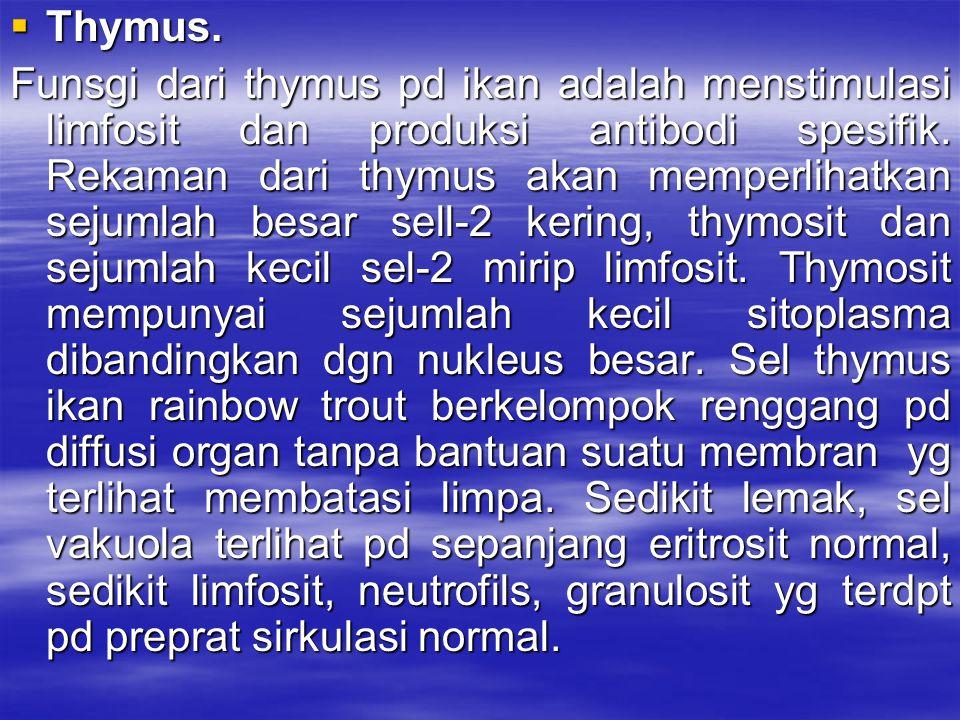 Thymus.