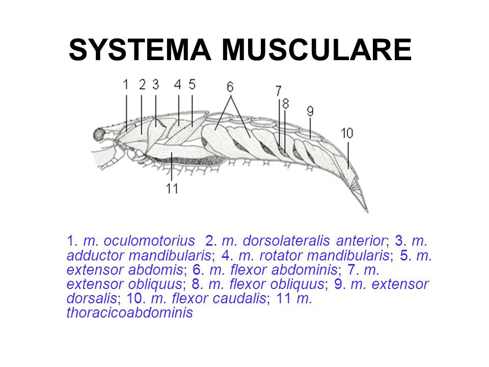 SYSTEMA MUSCULARE