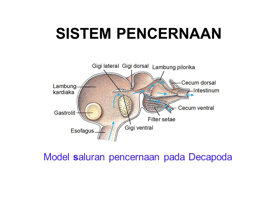 Model saluran pencernaan pada Decapoda