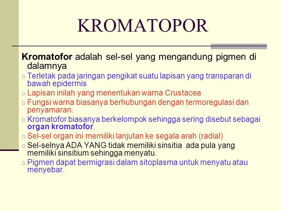 KROMATOPOR Kromatofor adalah sel-sel yang mengandung pigmen di dalamnya.