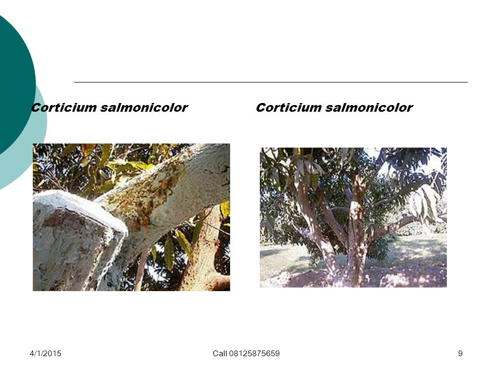 Corticium salmonicolor Corticium salmonicolor