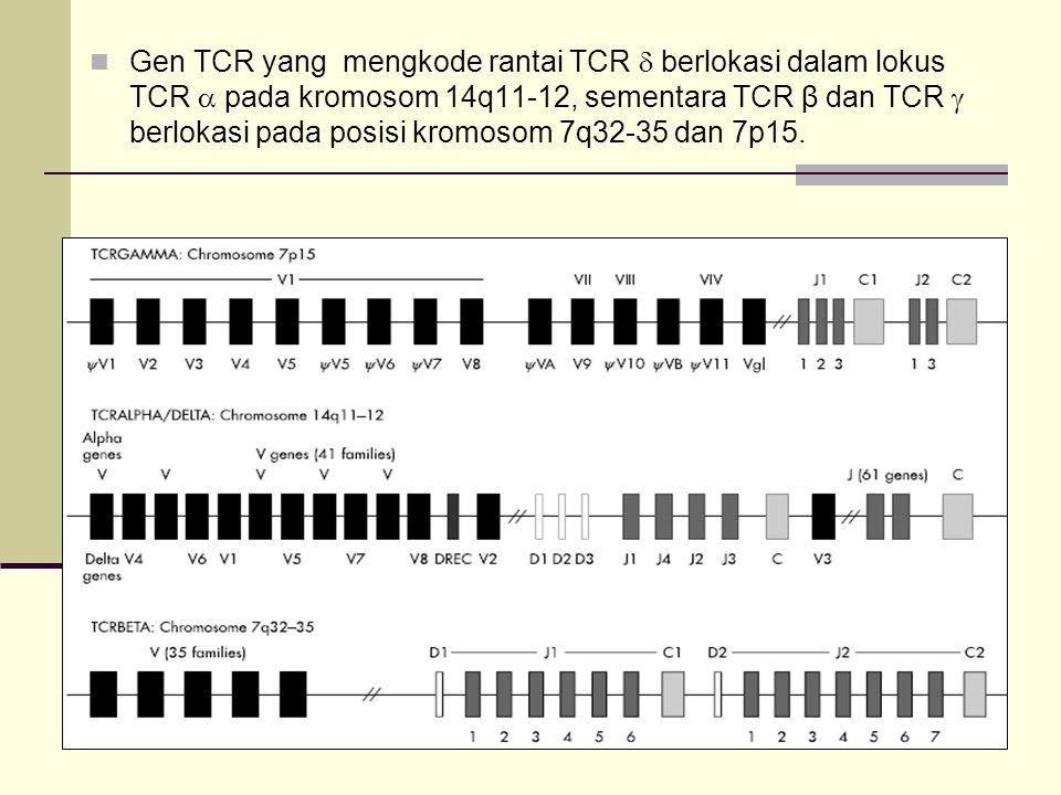 Gen TCR yang mengkode rantai TCR  berlokasi dalam lokus TCR  pada kromosom 14q11-12, sementara TCR β dan TCR  berlokasi pada posisi kromosom 7q32-35 dan 7p15.