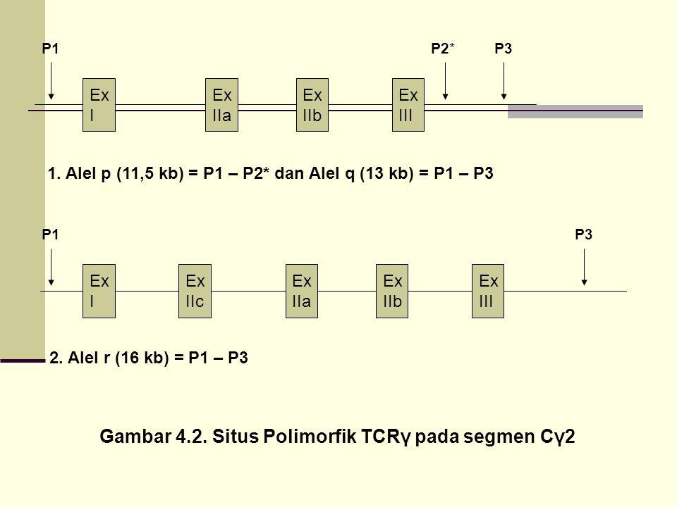 Gambar 4.2. Situs Polimorfik TCRγ pada segmen Cγ2