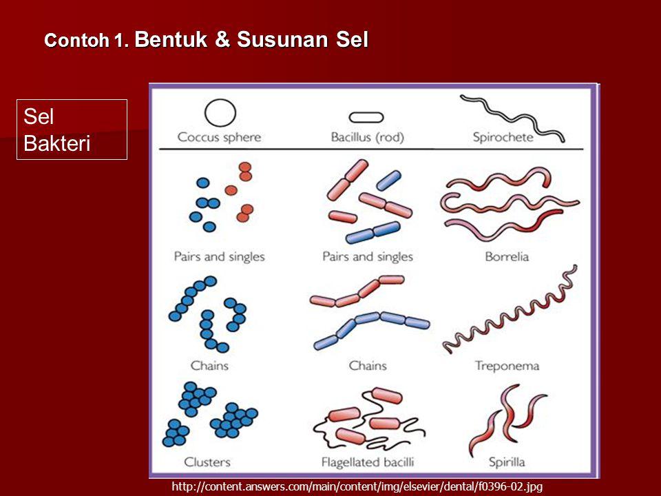 Sel Bakteri Contoh 1. Bentuk & Susunan Sel