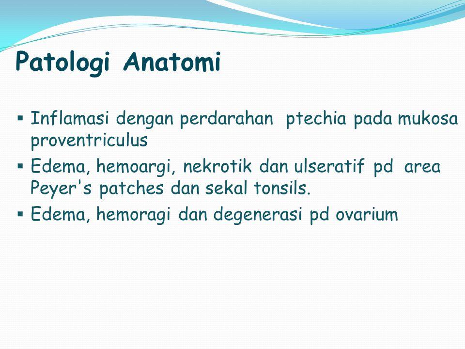 Patologi Anatomi Inflamasi dengan perdarahan ptechia pada mukosa proventriculus.