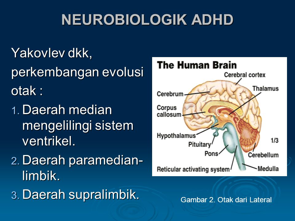 NEUROBIOLOGIK ADHD Yakovlev dkk, perkembangan evolusi otak :