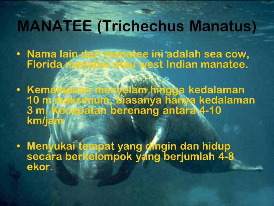 MANATEE (Trichechus Manatus)