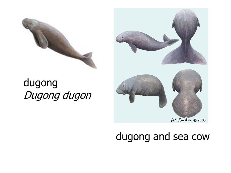 dugong Dugong dugon dugong and sea cow