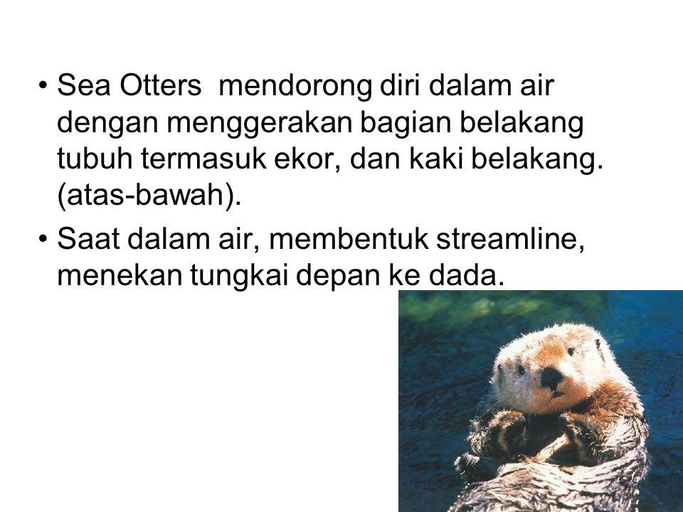 Sea Otters mendorong diri dalam air dengan menggerakan bagian belakang tubuh termasuk ekor, dan kaki belakang. (atas-bawah).