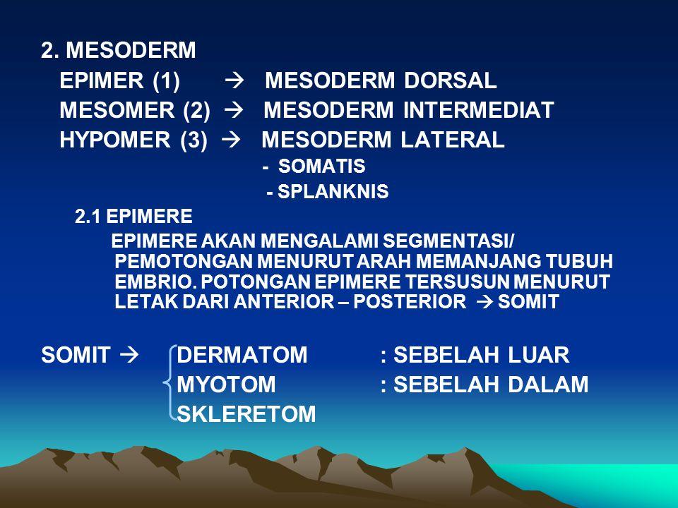 EPIMER (1)  MESODERM DORSAL MESOMER (2)  MESODERM INTERMEDIAT