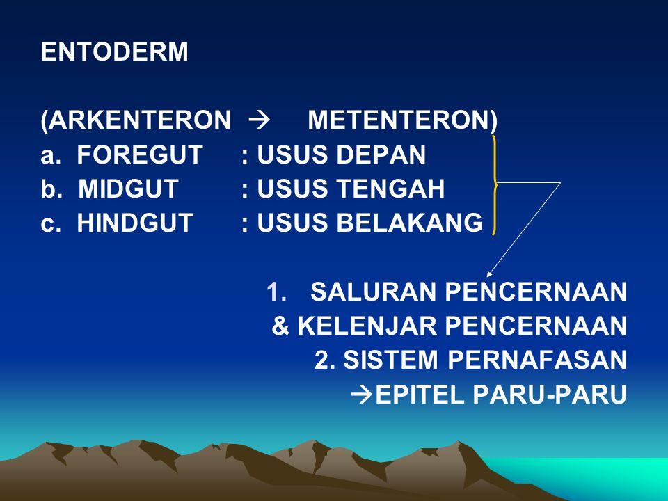 ENTODERM (ARKENTERON  METENTERON) a. FOREGUT : USUS DEPAN. b. MIDGUT : USUS TENGAH. c. HINDGUT : USUS BELAKANG.