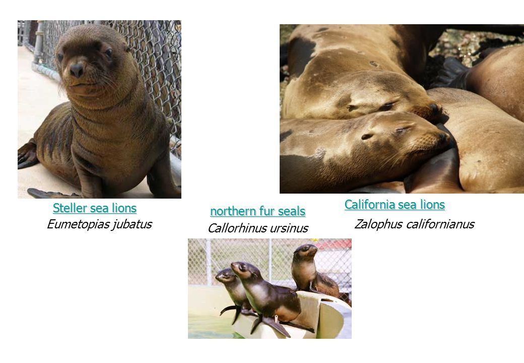 California sea lions Steller sea lions. northern fur seals. Eumetopias jubatus. Zalophus californianus.