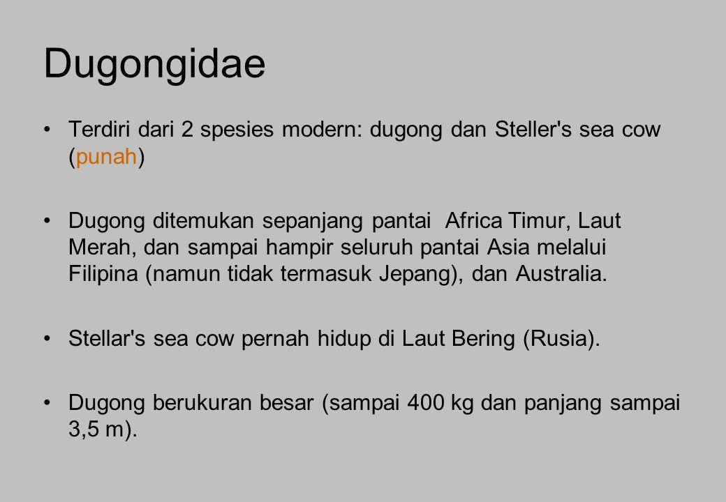 Dugongidae Terdiri dari 2 spesies modern: dugong dan Steller s sea cow (punah)