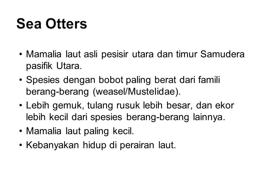 Sea Otters Mamalia laut asli pesisir utara dan timur Samudera pasifik Utara.