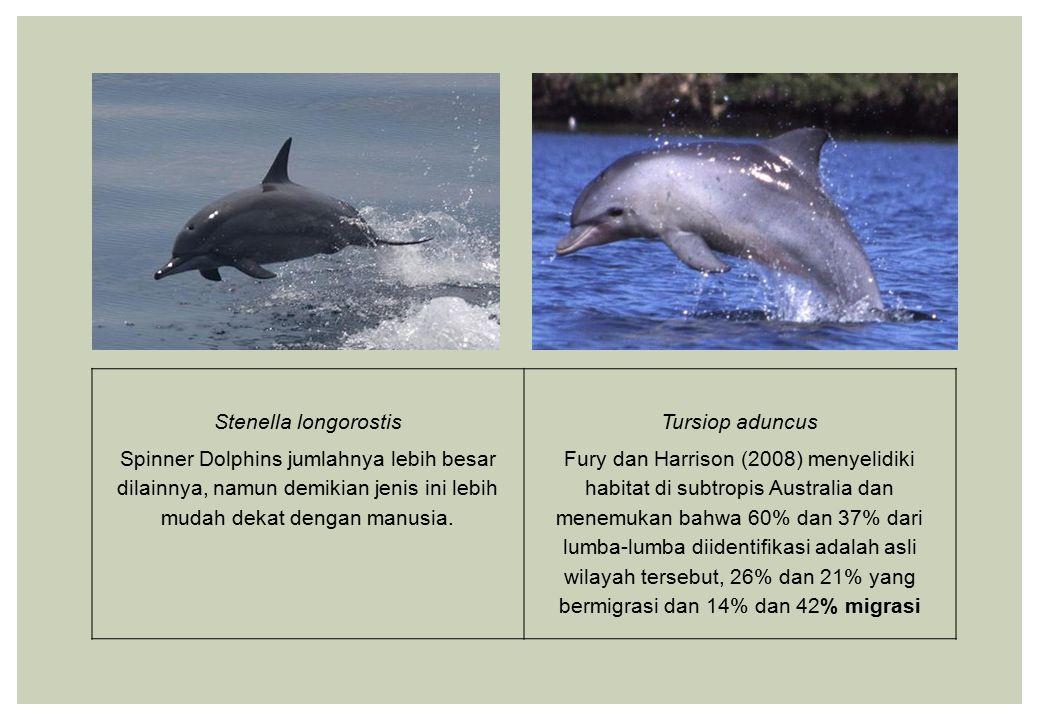 Stenella longorostis Spinner Dolphins jumlahnya lebih besar dilainnya, namun demikian jenis ini lebih mudah dekat dengan manusia.