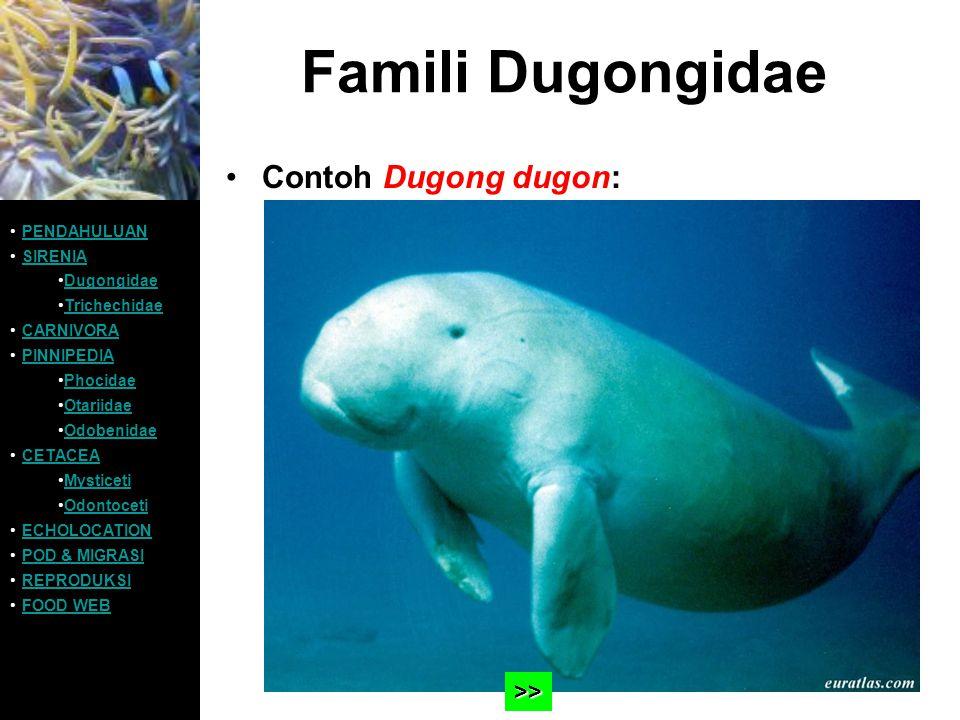 Famili Dugongidae Contoh Dugong dugon: >> PENDAHULUAN SIRENIA