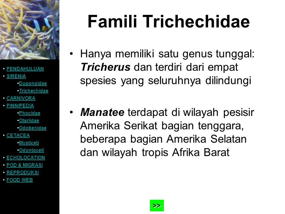Famili Trichechidae Hanya memiliki satu genus tunggal: Tricherus dan terdiri dari empat spesies yang seluruhnya dilindungi.