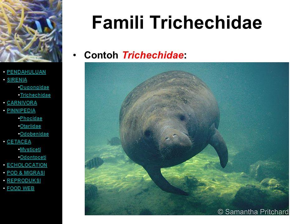 Famili Trichechidae Contoh Trichechidae: PENDAHULUAN SIRENIA
