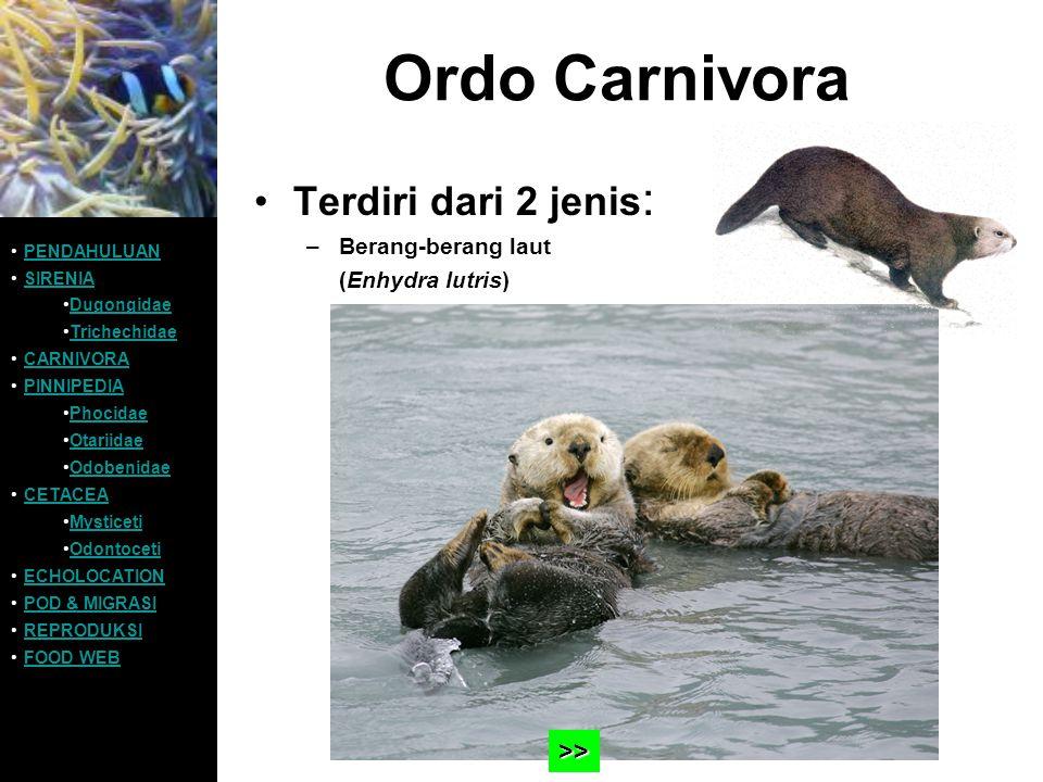 Ordo Carnivora Terdiri dari 2 jenis: >> Berang-berang laut