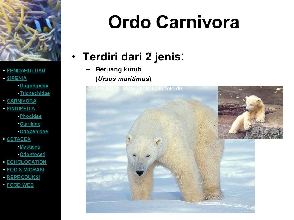 Ordo Carnivora Terdiri dari 2 jenis: Beruang kutub (Ursus maritimus)