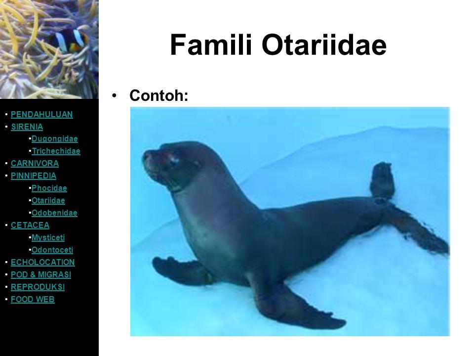 Famili Otariidae Contoh: PENDAHULUAN SIRENIA Dugongidae Trichechidae