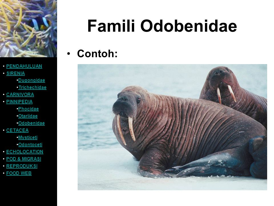 Famili Odobenidae Contoh: PENDAHULUAN SIRENIA Dugongidae Trichechidae