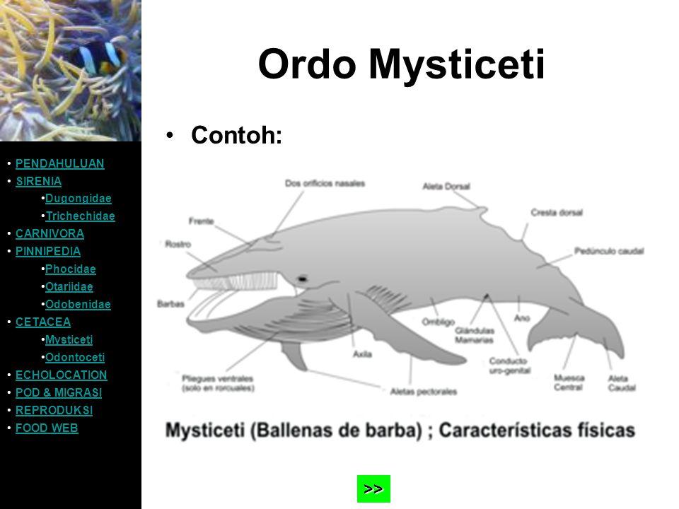 Ordo Mysticeti Contoh: >> PENDAHULUAN SIRENIA Dugongidae