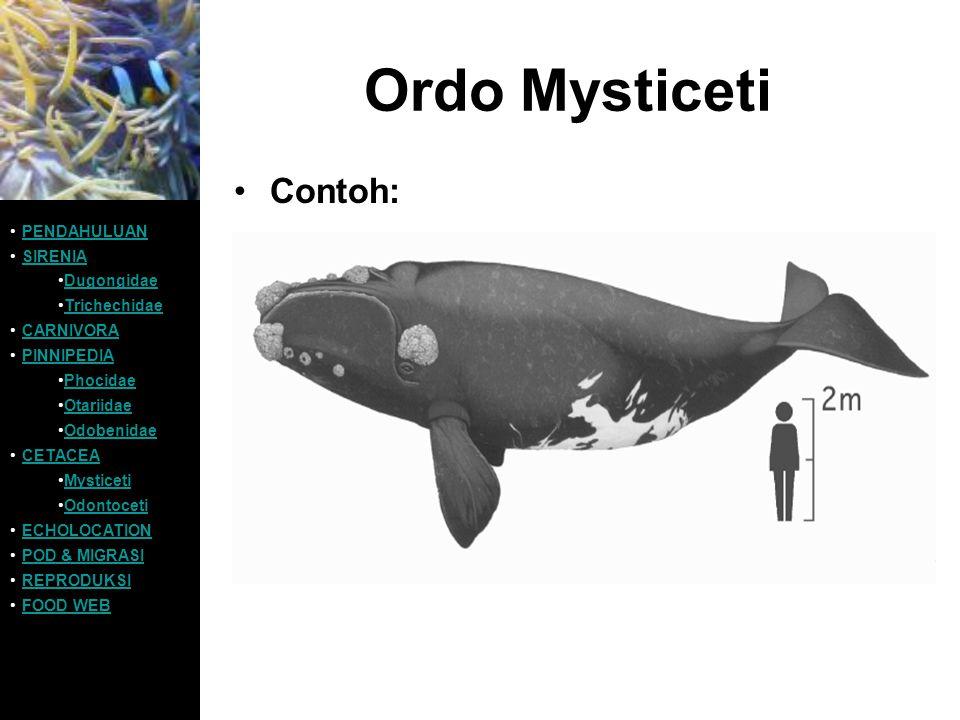 Ordo Mysticeti Contoh: PENDAHULUAN SIRENIA Dugongidae Trichechidae