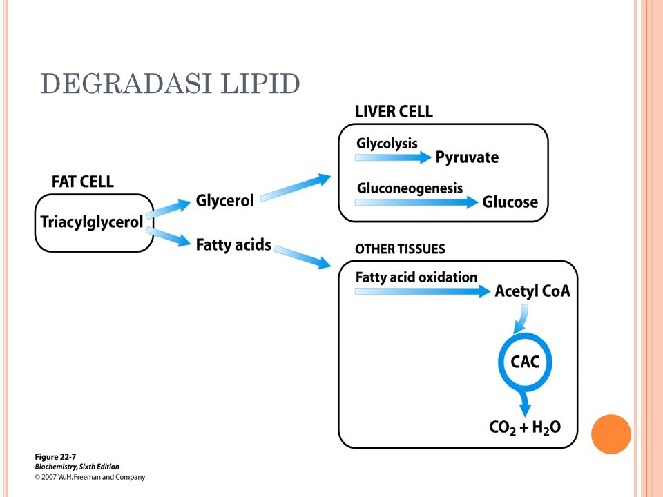 DEGRADASI LIPID
