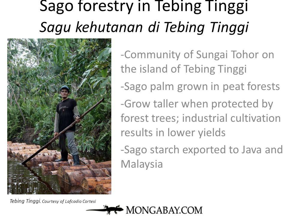Sago forestry in Tebing Tinggi Sagu kehutanan di Tebing Tinggi