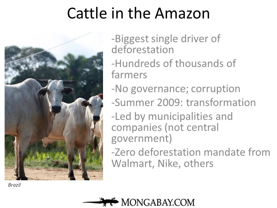 Cattle in the Amazon Biggest single driver of deforestation