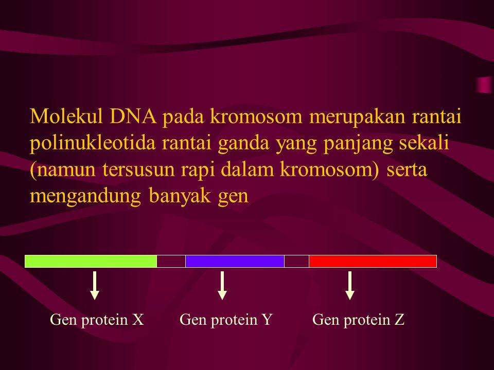 Molekul DNA pada kromosom merupakan rantai polinukleotida rantai ganda yang panjang sekali (namun tersusun rapi dalam kromosom) serta mengandung banyak gen