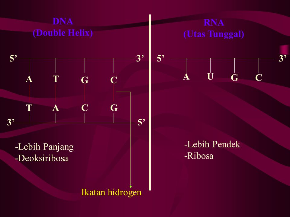 RNA (Utas Tunggal) DNA. (Double Helix) 5' 3' 5' 3' A. U. A. T. G. C. G. C. T. A. C.