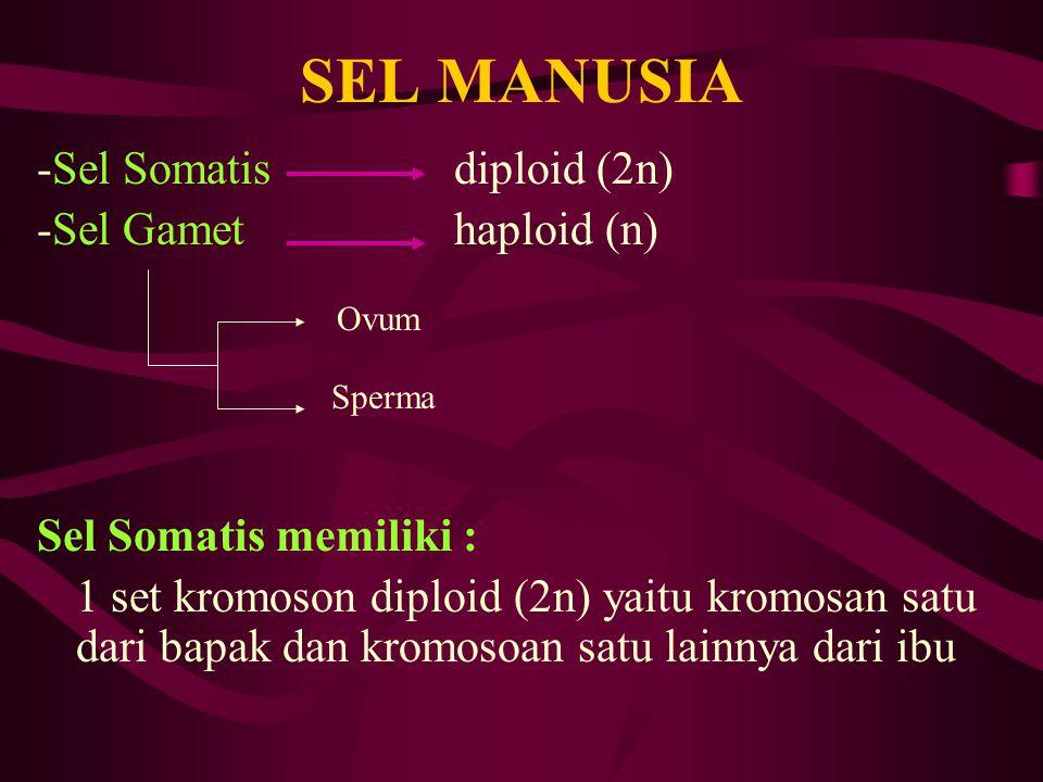 SEL MANUSIA -Sel Somatis diploid (2n) -Sel Gamet haploid (n)