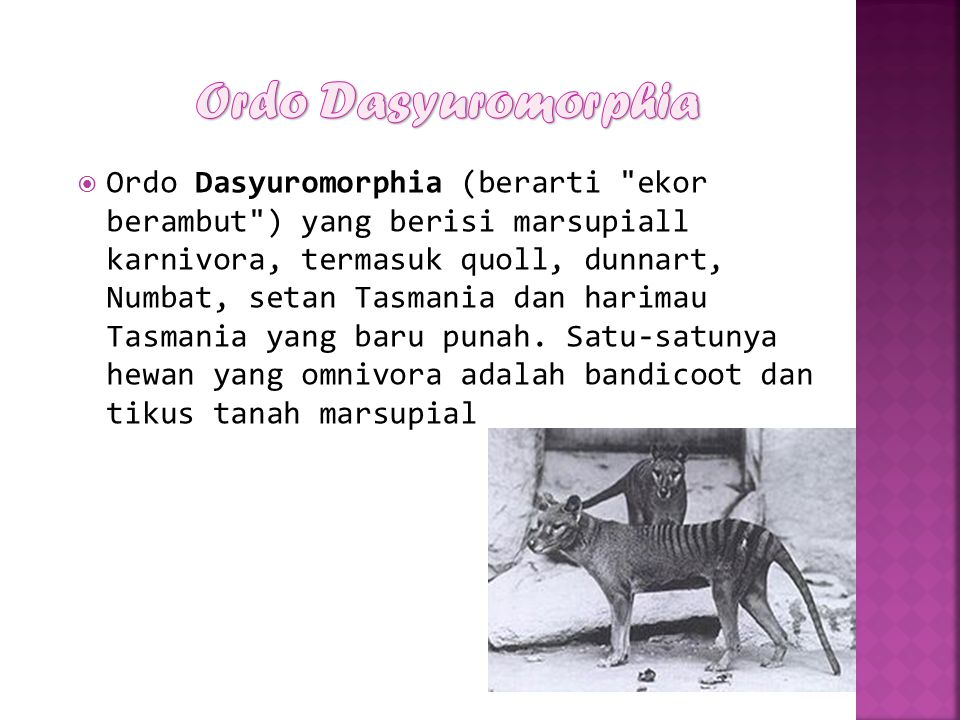 Ordo Dasyuromorphia