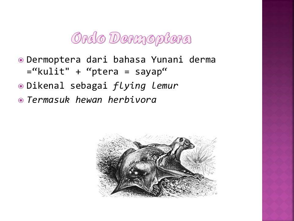 Ordo Dermoptera Dermoptera dari bahasa Yunani derma = kulit + ptera = sayap Dikenal sebagai flying lemur.