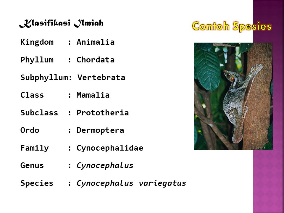 Contoh Spesies Klasifikasi Ilmiah Kingdom : Animalia